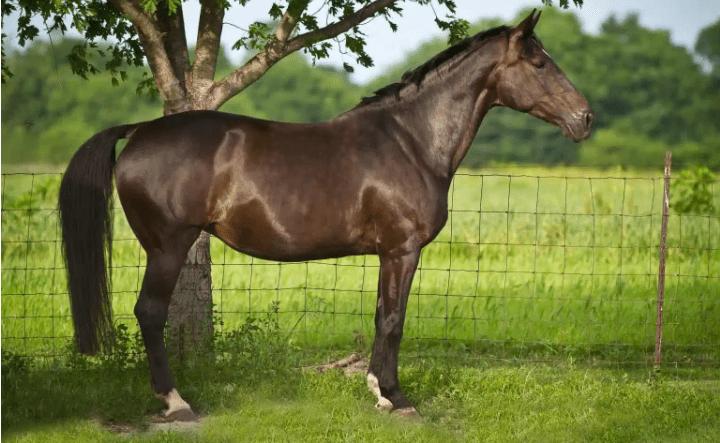 סוס וורמבלאד הולנדי הסוסים בכי יקרים